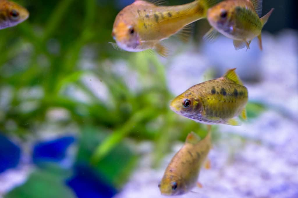 Chinese Gold Barbs